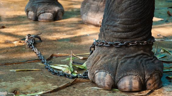 En Florida, Estados Unidos, un elefante atado a un parquímetro debe pagar estacionamiento (Foto Mundo Maipú).